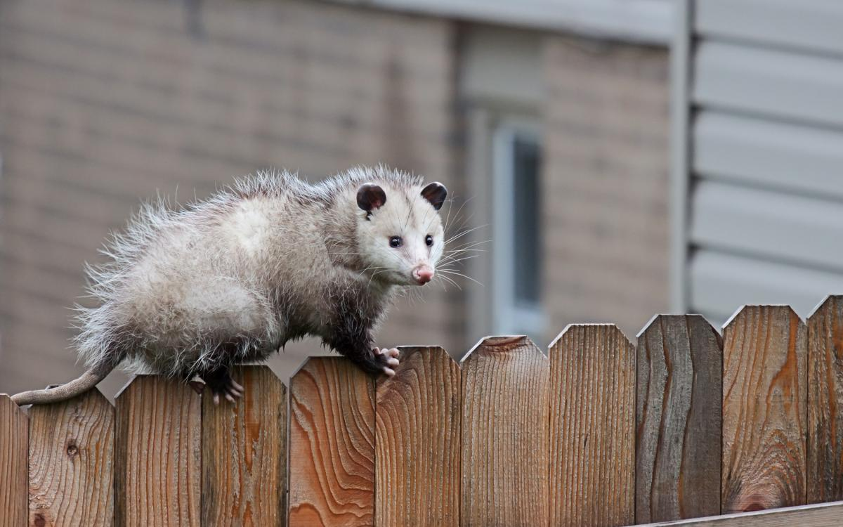 Image result for opossum