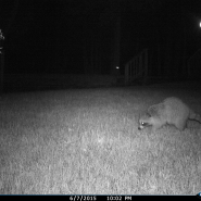 Raccoon hunting for turtle nest